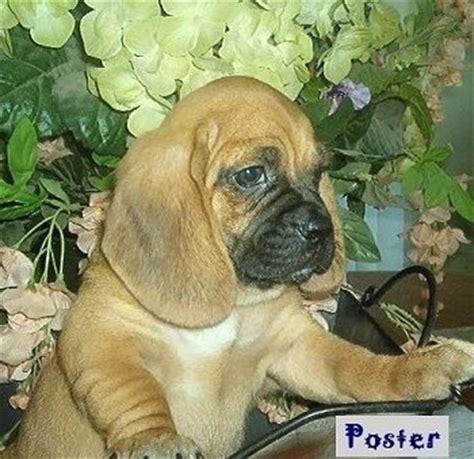 pug hound mix a bassugg basset hound pug hybrid at 5 month