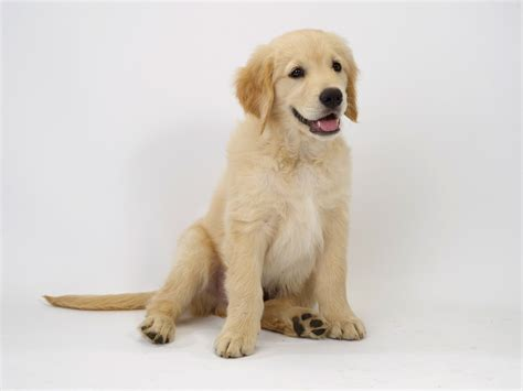 golden retriever that stays a puppy golden retriever breed information pictures history