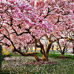 your complete guide to magnolia trees the tree center