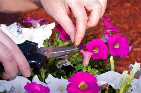 Dead Heading jeffco gardener deadhead flowers for more blooms by carol