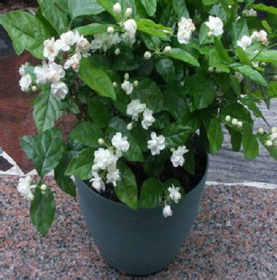 Tanaman Bunga Melati cara menanam tanaman hias bunga melati di dalam pot