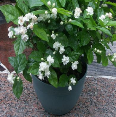 Bibit Bunga Melati Putih cara menanam tanaman hias bunga melati di dalam pot