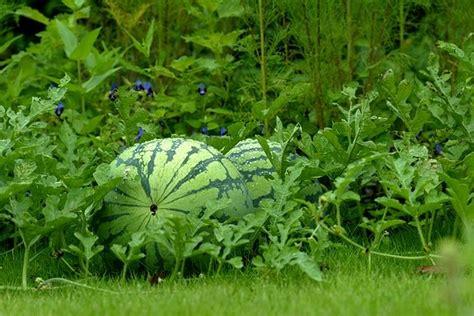 Oleh Oleh Impor Dari Negara Inggris Berupa Bigben dusun mekar sari budidaya pertanian semangka