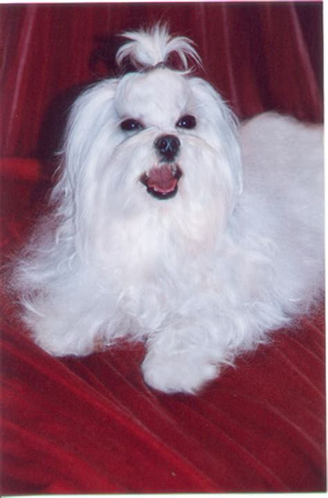 maltese puppies for sale mn maltese pups for sale minnesota teacup maltese puppies