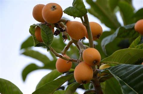 fiori di nespolo nespolo giappone alberi da frutto nespolo giappone