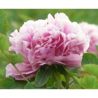 Harga Bibit Sawi Sendok bibit bunga peony pink