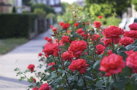how and when to plant roses the garden glove