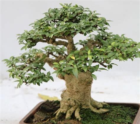 bonsai da appartamento alberi da appartamento piante appartamento