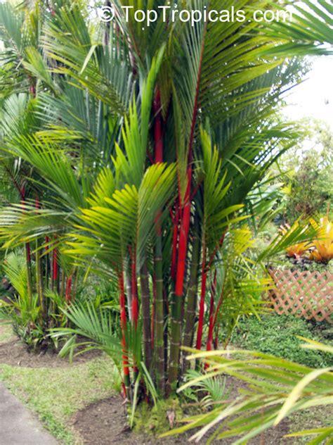 Click And Grow Garden cyrtostachys lakka cyrtostachys renda lipstick palm