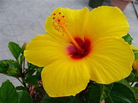 hawaiian yellow hibiscus orange yellow hibiscus yellow hibiscus key west pinterest hibiscus yellow