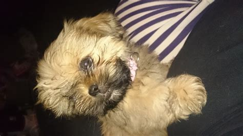 shih tzu with black mask gawjus gold shih tzu with black mask kc durham county durham pets4homes