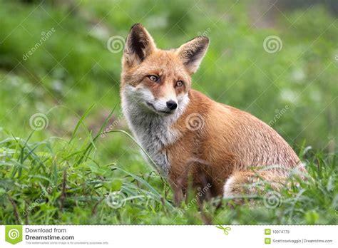fox looking fox looking back vulpes vulpes stock image image 10074779