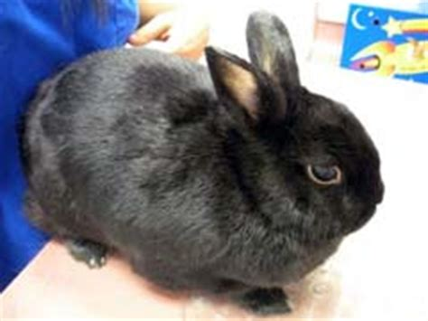 Shedding Bunny by Rabbit Hair Loss Around And On Ears Causes
