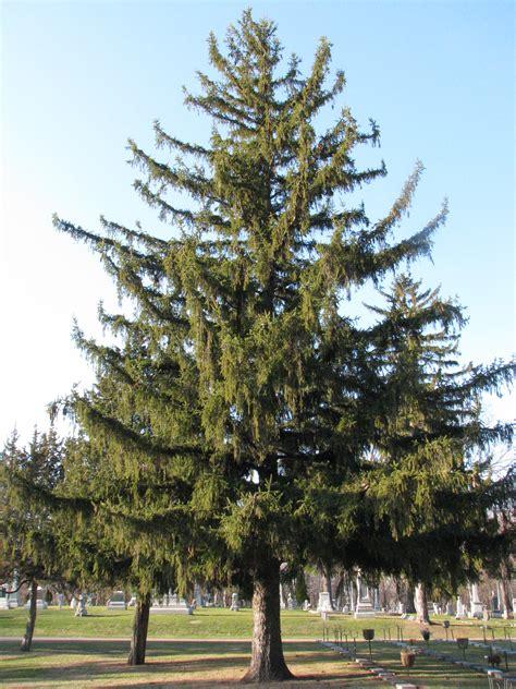 a closer look at cones norway spruce ecoblog