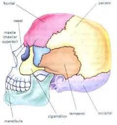 Os ossos planos como o frontal o occipital e os parientais s 227 o