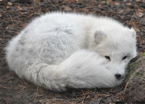 arctic fox wikipedia the free encyclopedia arctic fox wikipedia autos post