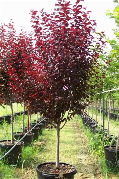 newport plum tree problems ornamental no fruit vesuvius plum garden pinterest trees