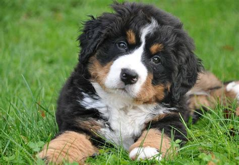 bernese mt bernese mountain puppies for sale akc puppyfinder