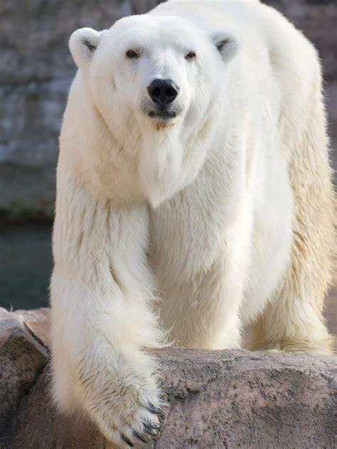 bbbear polar 1000 images about polar bears on baby polar