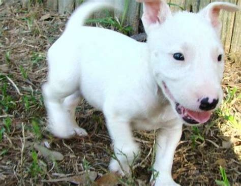 miniature bull terrier puppies for adoption miniature bull terrier puppies adoption breeds picture