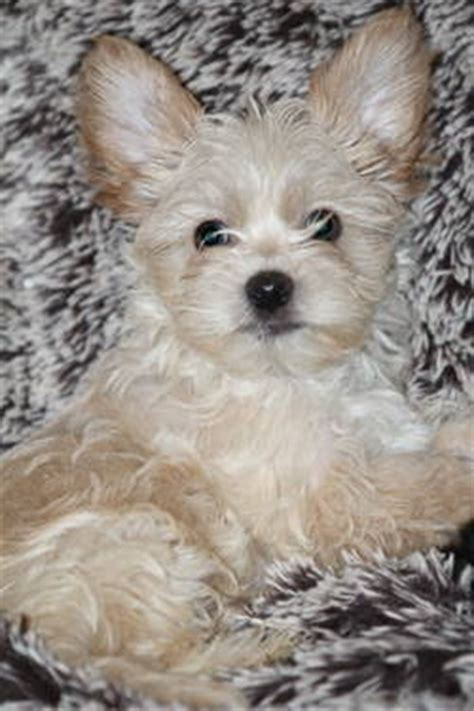 yorkie rescue dallas 1000 images about morkie on morkie puppies for sale to find out and