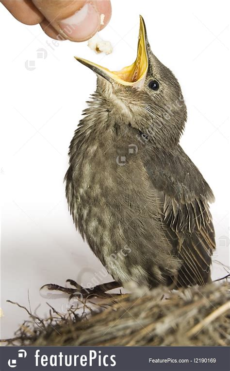 wildlife feeding little hungry bird stock picture