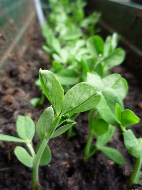 what are pea shoots pea shoots in the garden and how to