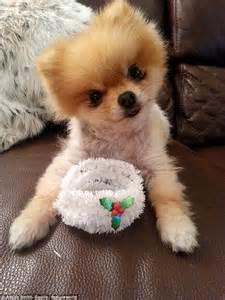 pomeranian lulu pomeranian husky mix dogs breeds picture