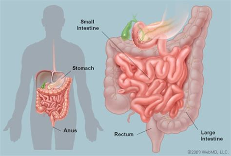 diagram of stomach and intestines intestines anatomy picture function location conditions