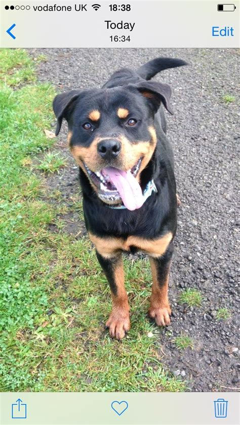 1 year rottweiler for sale 1 year rottweiler for sale winsford cheshire pets4homes