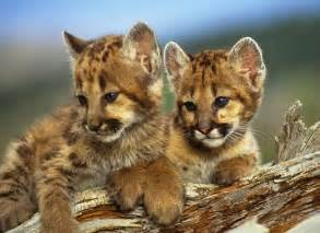 Mountain lion litters number 1 4 cubs weighing an average of 18 oz