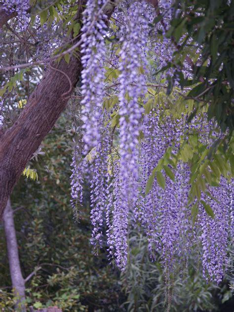 fiore glicine wisteria floribunda macrobotrys