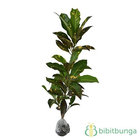 Tanaman Bromel Tricouler tanaman puring tricolor bibitbunga