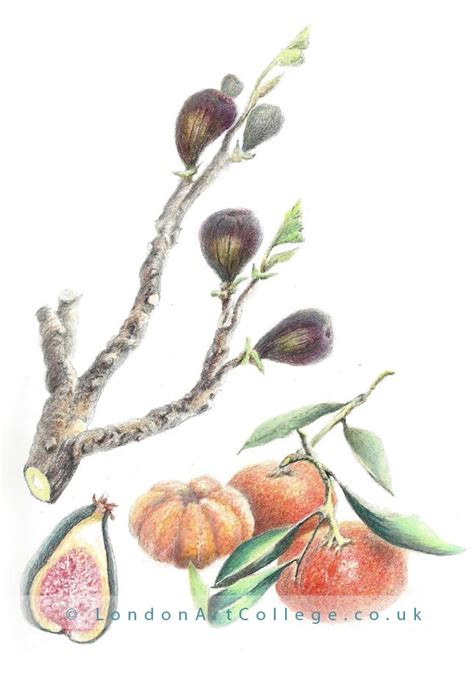 0007275528 botanical painting with coloured pencils botanical coloured pencils course mollie melhuish