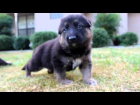 german shepherd puppies for sale in clarksville tn german shepherds for sale in tenessee