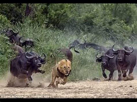 dangerous african cape buffalo (black death) attacks