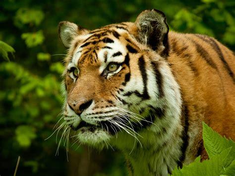 tiger spirit animal gratitude