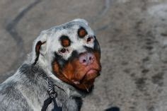 vitiligo rottweiler for sale 1000 images about and cool dogs cats on cocker spaniel great