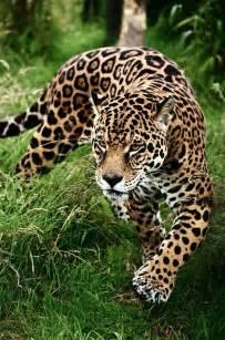 Is A Jaguar A Mammal Le Catalogue D Id 233 Es