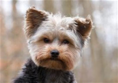 how is a yorkies span terrier lovetoknow