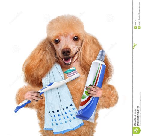 brushing puppy teeth brushing teeth stock photos image 38393193