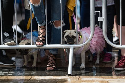 celebrating pugs and pups pug dogs and their owners the competition for the pug dressed in the best