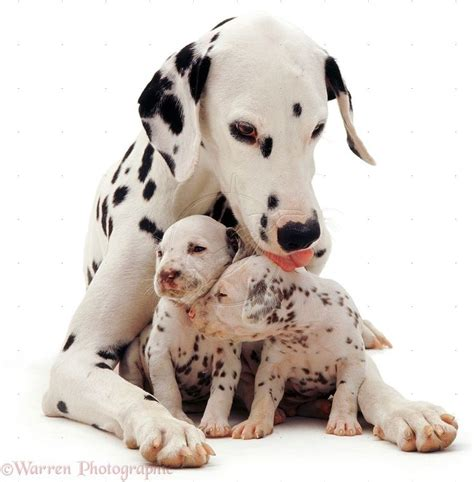 how much are dalmatian puppies best 25 dalmatian dogs ideas on puppies dalmation dalmatian and