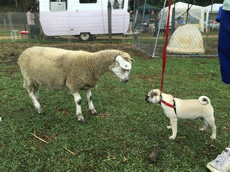 pug puppy farm serendipity farm animal centre brisbane