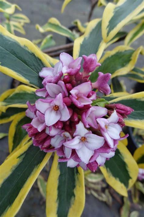 buy maejima variegated pink flowering winter daphne