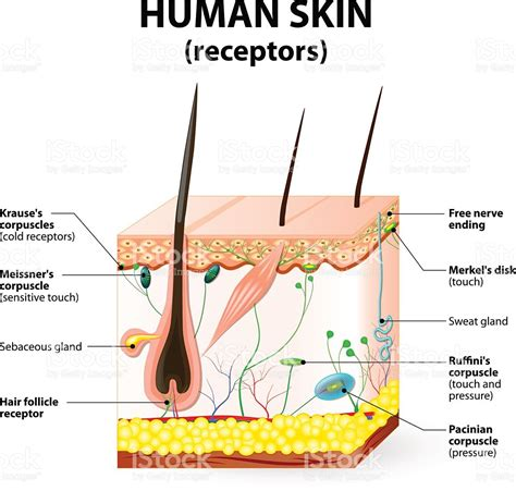 human skin cross section human skin layer vector cross section stock vector art