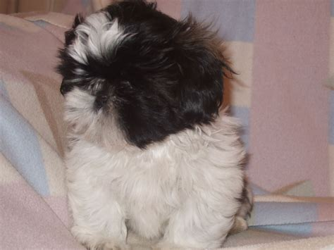 shih tzu clubs beautiful kennel club registered shih tzu puppies driffield east of