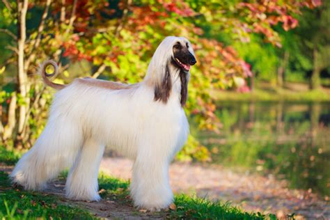 What Can I Do About Shedding by 10 Non Shedding Dogs Best Breeds For Allergic