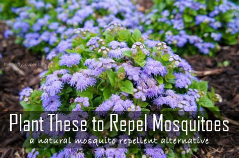 plant these to repel mosquitoes a natural alternative