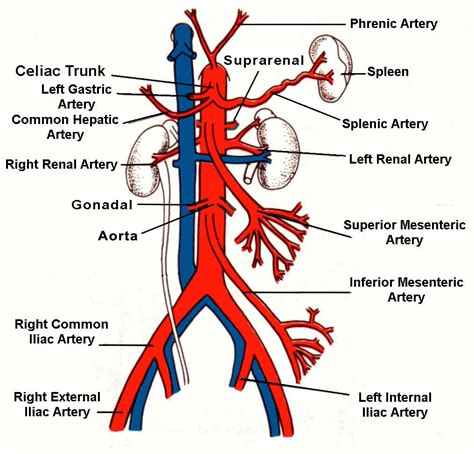 diagram of the arteries branches of artery diagram major branch from
